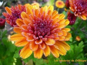 Chrysanthèmes (6)