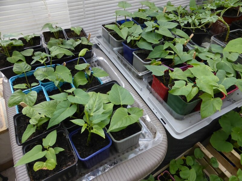 4-patates douces