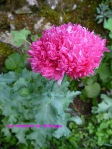 pavot rose