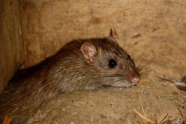 poulailler rat