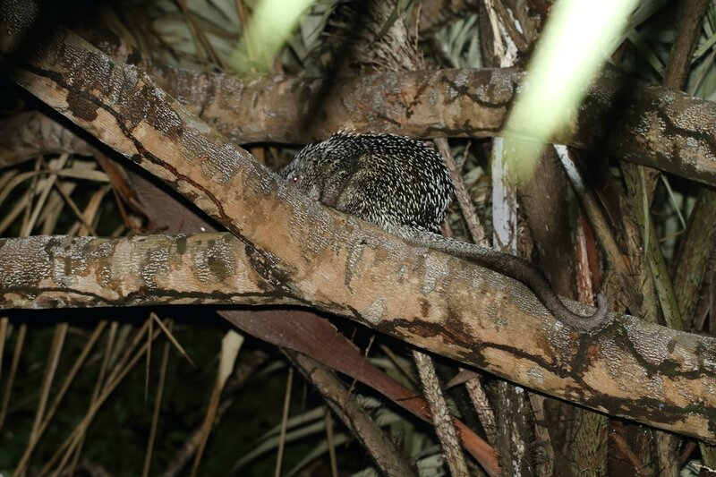 Coendou prehensilis - Coendou à queue préhensile