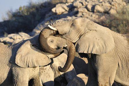 Eléphants, parc d'Etosha, Namibie