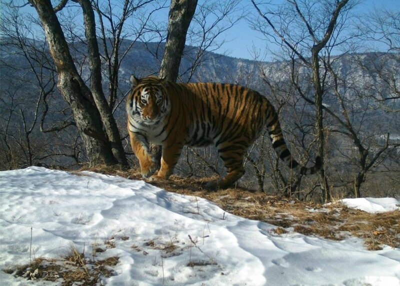 TIGRE DE SIBERIE DANS LE PARC NATIONAL LAND OF THE LEOPARD