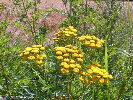 Tanaisie commune - Tanacetum vulgare