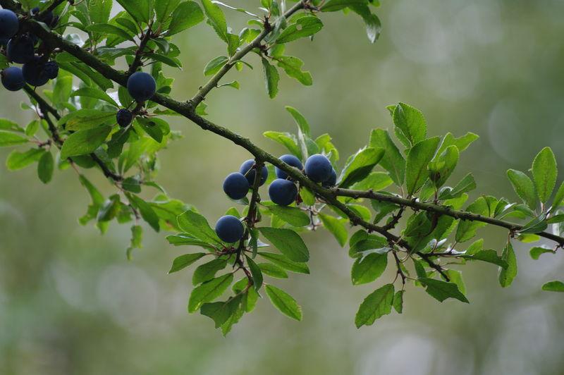Prunellier le coeur vend en for Portent ses fruits