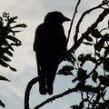 2009 09 02 Le choucas dans l'arbre