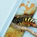 Guêpe fouisseuse • Gorytes laticinctus • Famille des Crabronidae