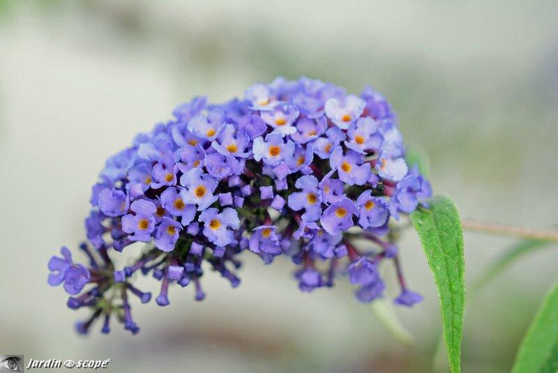 Fleur-de-buddleia