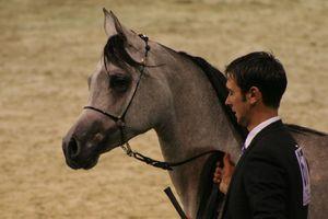 Championnat du monde du cheval arabe le 11 12 10 (11)