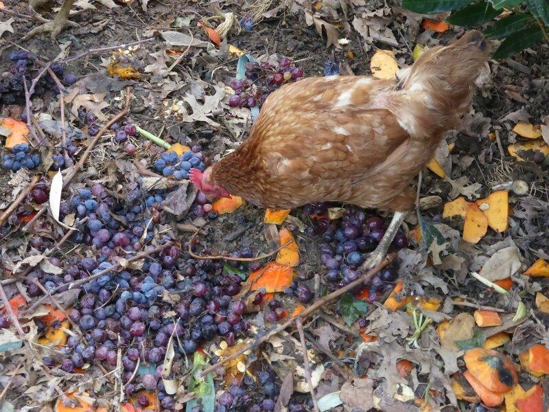 13-poules-raisin (9)