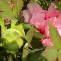 Pivoines précoces ... au jardin hanbury ...