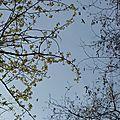 Parade d'éperviers (Accipiter nisus)
