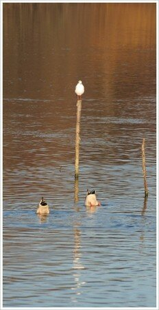 mouette_piquet_canards_envers_2