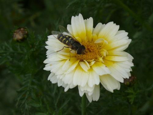 2008 10 15 Un insecte sur une fleur