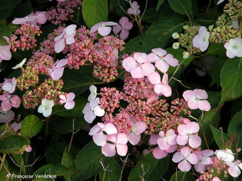 Hortensia hydrangea macrophylla all e fleurie for Plante arbustive fleurie
