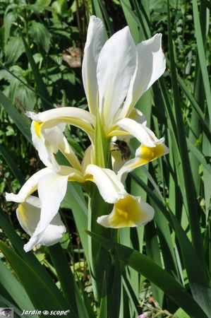 Iris orientalis