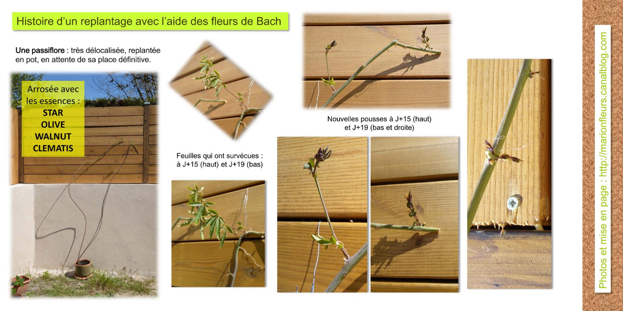 Replanter une plante de jardin déracinée de son lieu de vie et dévitalisée / Fleurs de Bach : divers