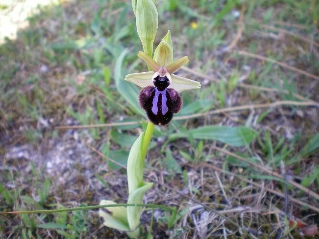 1-Orchidée sauvage n°4 (ophrys)