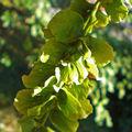 La fructification du Pterocarya fraxinifolia • F/ Juglandaceae