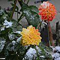 Dahlia 'Hepken' (Label Rouge) sous la neige de novembre