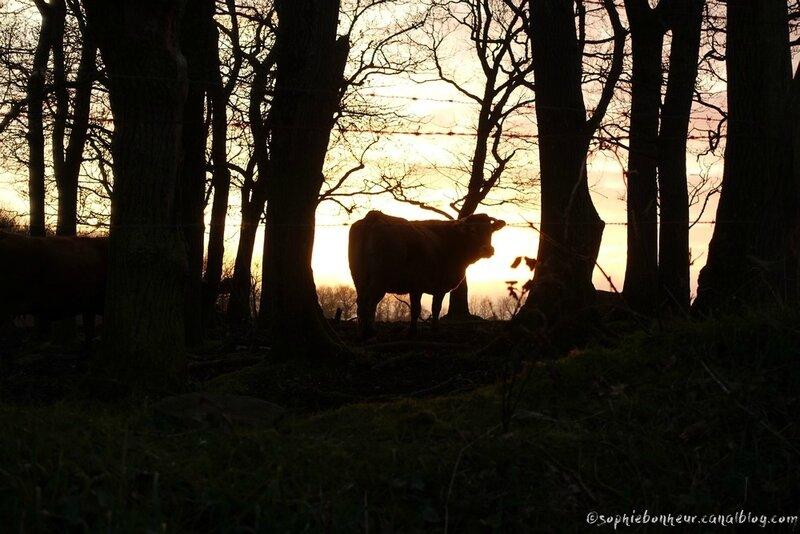 9 mars vache