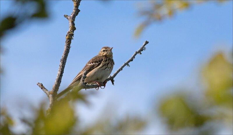Bougon oiseau Pipit des arbres 010517 2