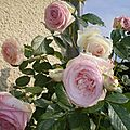 Mon rosier préféré au parfum si délicat le soir