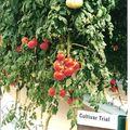 tomates sans terre ...ce que nous consommons..