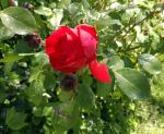 bouton rose rouge profil