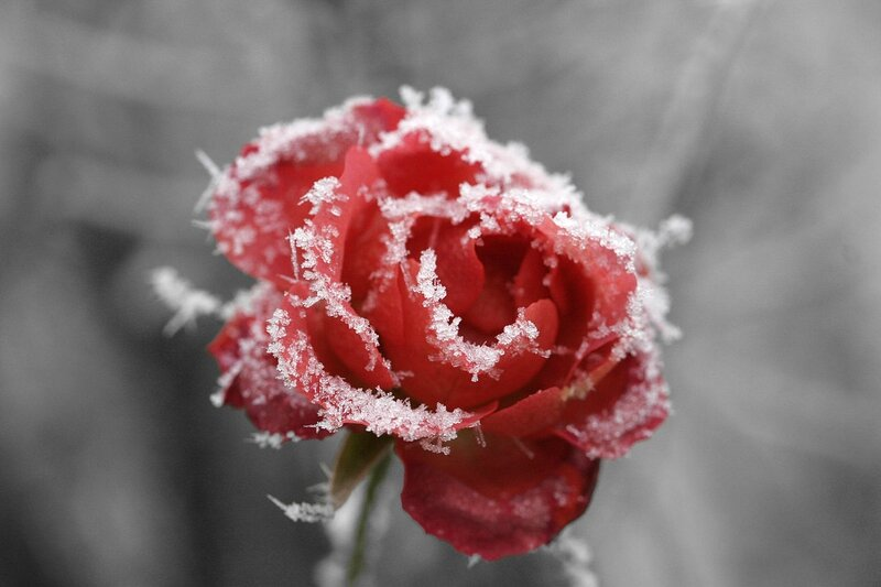 1280px-Frosted_rose_01