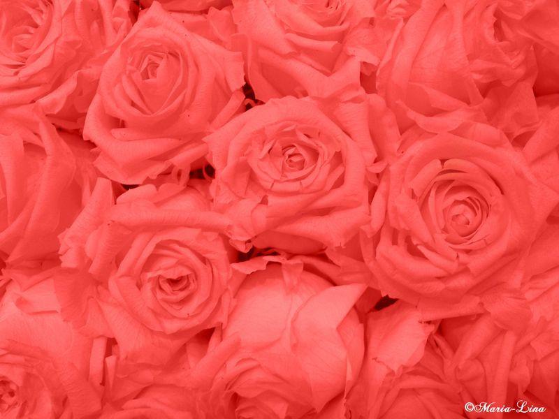 De magnifiques roses les douceurs de maria lina for Parterre de roses photos