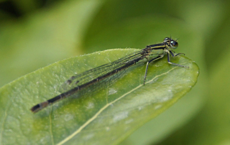 Agrion élégant (Ishnura elegans) femelle