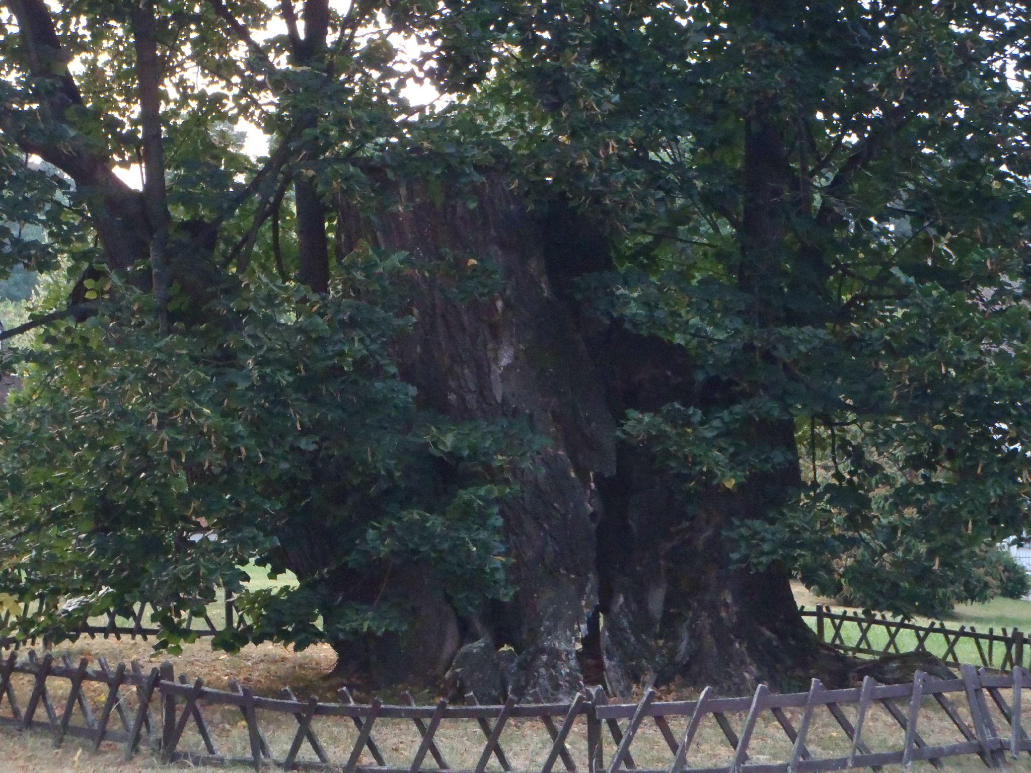 slovaquie - arbre dans le parc du chateau bonjnice