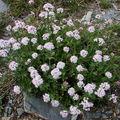 2008 05 12 Des fleurs de Valeriana tripteris