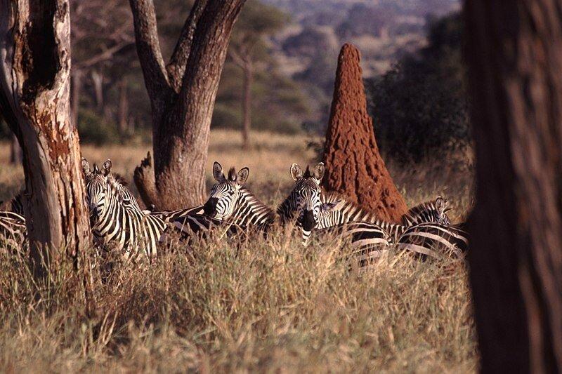 800px-Zebras_Termite_Mound