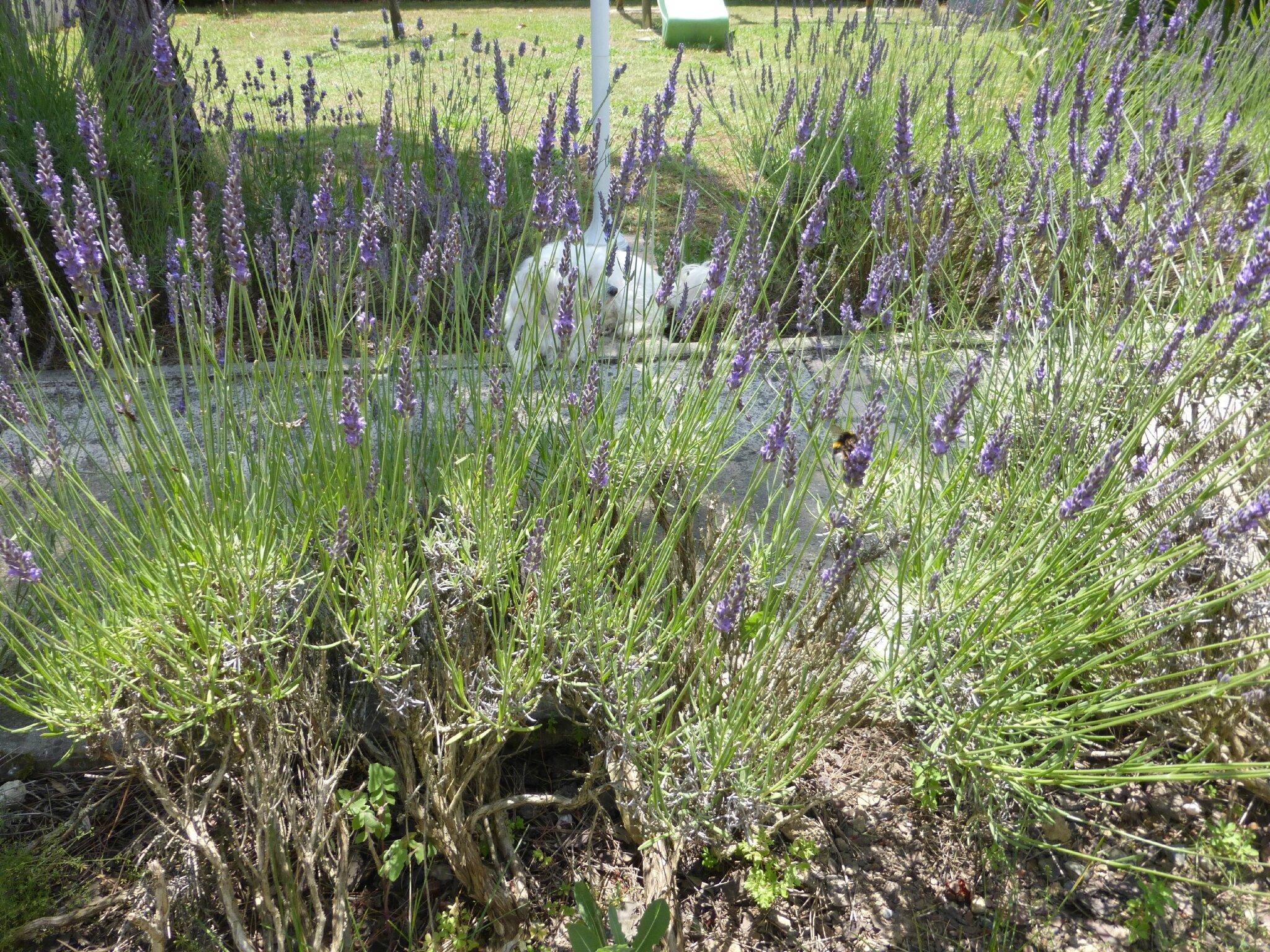 Apr s la cueillette de petits fruits les fleurs de lavande embaument mon jardin il est temps - Quand ramasser la lavande ...