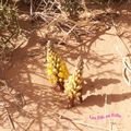 Jacinthes du désert