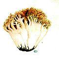 51 Clavaria botrytis acroporphyrea b