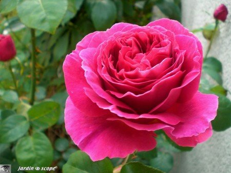 Rose_anglaise_othello