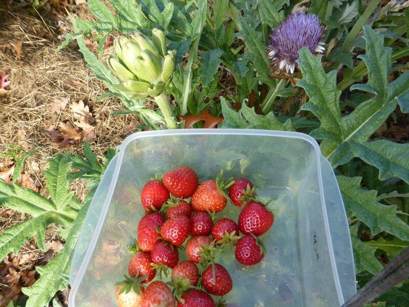 6-fraises (11)