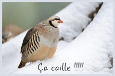 ca-caille