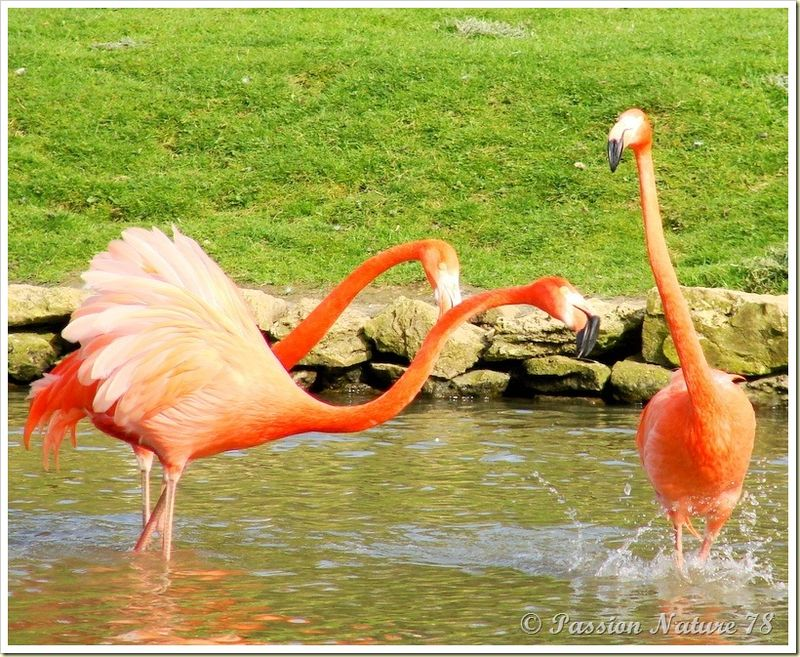 Les flamants roses (5)