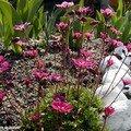 Une délicate saxifrage mousse à planter en groupe