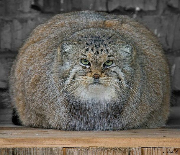 chat-pallas-manul-expression-17
