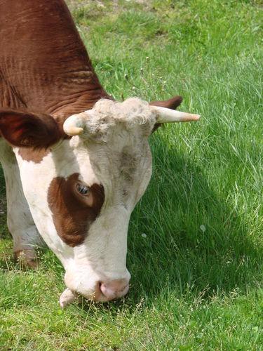 2008 05 26 Une vahce qui mange de l'herbe