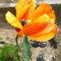 tulipre orangé