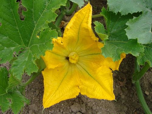 2008 07 21 Fleur de potiron