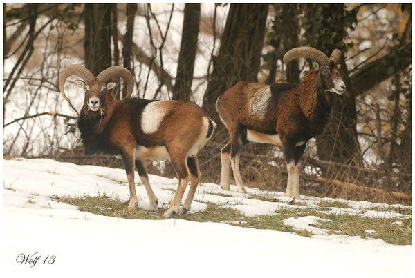 mouflon13-02