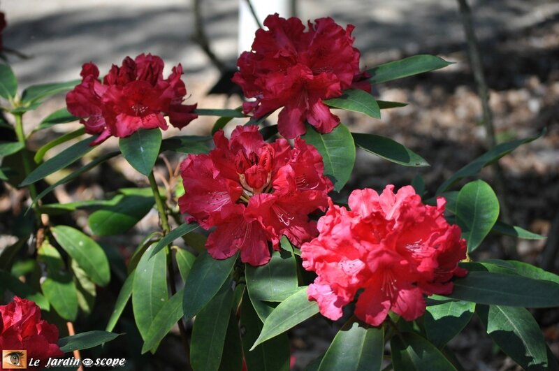 Rhododendronen fleurs rouges