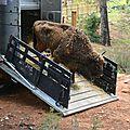 Un troupeau de bisons d'europe relâché dans une réserve espagnole
